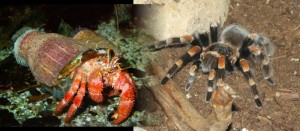Hermitcrab and Tarantula