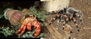 Hermitcrab and Tarantula